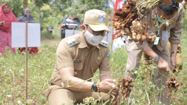 Panen Kacang Tanah di Bontotiro, Wabup Tomy : Variates Lokal Harus Bersaing Nasional